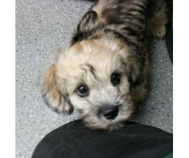 3 Month Old Dandie Dinmont Terrier Puppies for Sale