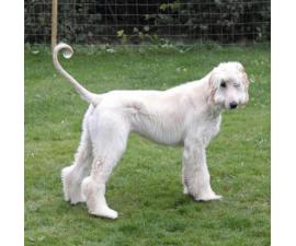 Afghan Hound Puppy for Sale Family Pet