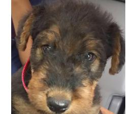 Airedale Terrier Puppies for Sale in Michigan