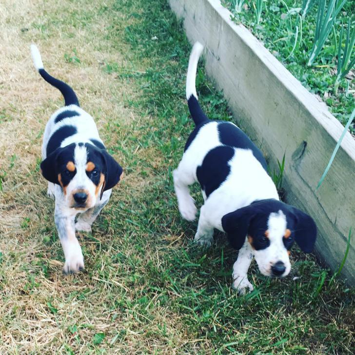 American English Coonhound Puppies for Sale in Beatty