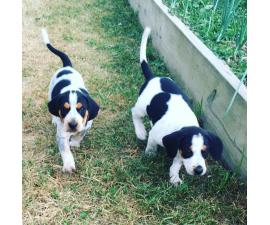 American English Coonhound Puppies for Sale