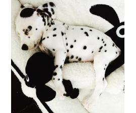 Dalmatian Puppies for Sale in NC