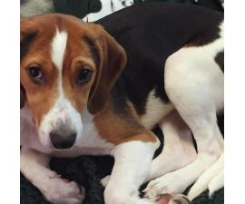 American Foxhound for Sale