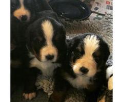 4 weeks old Bernese Mountain Dog Puppies Ohio