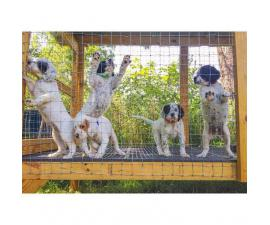English setter puppies mn