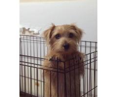 Norfolk Terrier Puppies for Sale