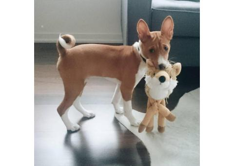 Basenji Puppies For Sale Near Me