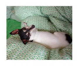 Toy Fox Terrier Puppies for Sale in Texas