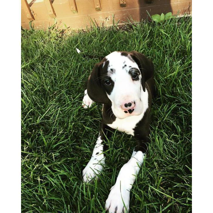 Great Dane Puppies for Sale in New York