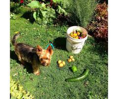 Australian Terrier Pups for Sale