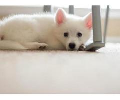 American Eskimo Puppies for Sale in PA