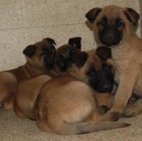 6 weeks old Belgian Malinois Puppies for Sale