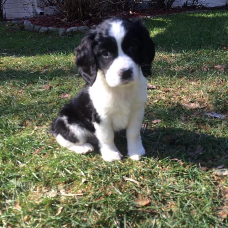 English springer spaniel puppies for sale in nc in Clemmons , North