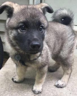 Norwegian elkhound puppies for sale in pa