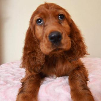3 Red Irishdoodle Puppies Left In Akron Ohio Puppies For Sale Near Me