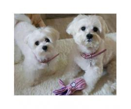 Adorable White Maltese Puppies for sale