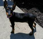 Manchester terrier for sale