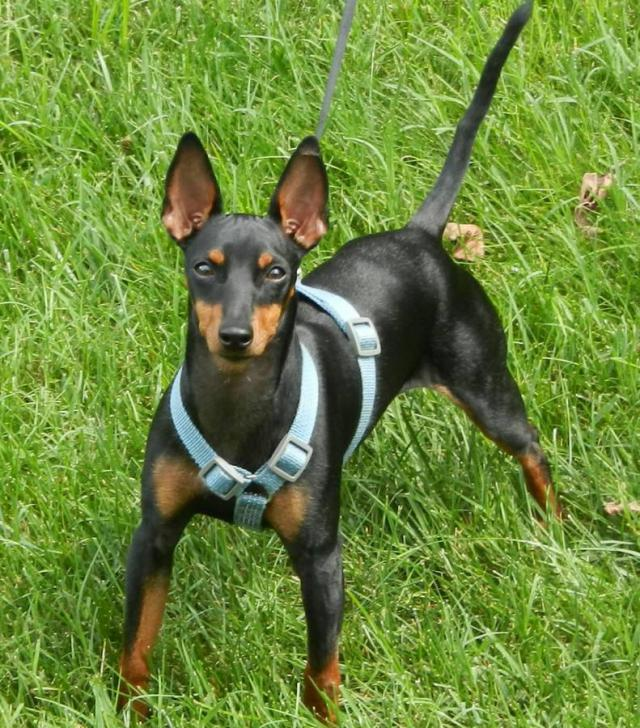 Manchester terrier for sale in Acmar, Alabama - Puppies ...