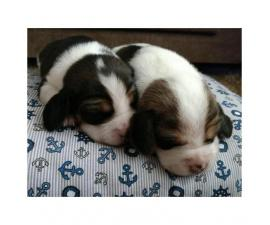 Miniature Beagle Puppies for Sale in Kentucky