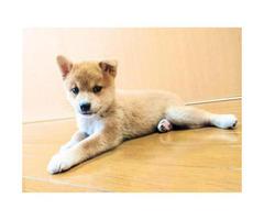 Shiba Inu Puppies for Sale Near Los Angeles
