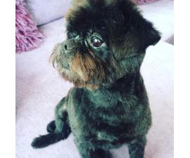 Affenpinscher Puppies for Sale in South Dakota