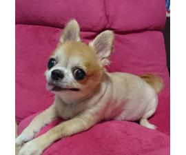 Chihuahua Puppies for Sale in Omaha Nebraska