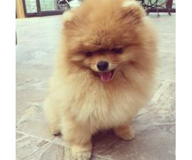 Female Pomeranian Puppies for Sale in Minnesota