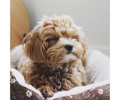 Adorable Maltipoo Puppies for sale in Arizona