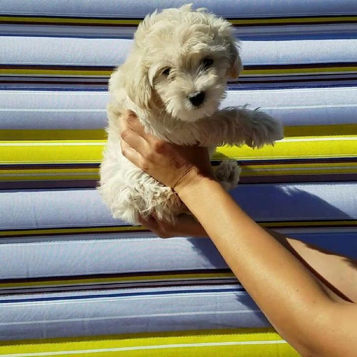 Cockapoo Puppies for Sale in New York in Rochester, New ...