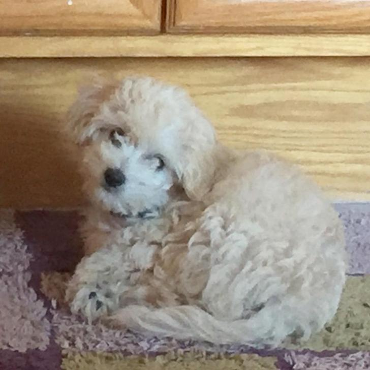 Cockapoo Puppies For Sale In New York In Rochester New York Puppies For Sale Near Me