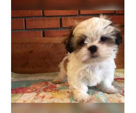 Shih Tzu Puppies for Sale in Rhode Island