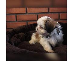 Shih Tzu Puppies for Sale in Rhode Island