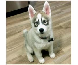 Husky Puppies New Mexico Looking for A New Home