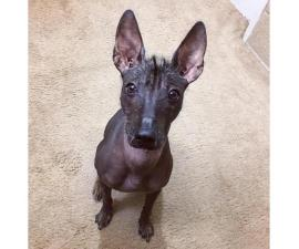 9 Month Old Standard Xoloitzcuintli for Sale