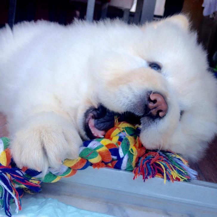 White chow chow puppies for sale in Alamo Heights, Texas ...