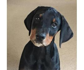 Doberman puppies for sale in Florida ready for new home