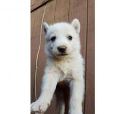 Husky german shepherd mix puppies for sale