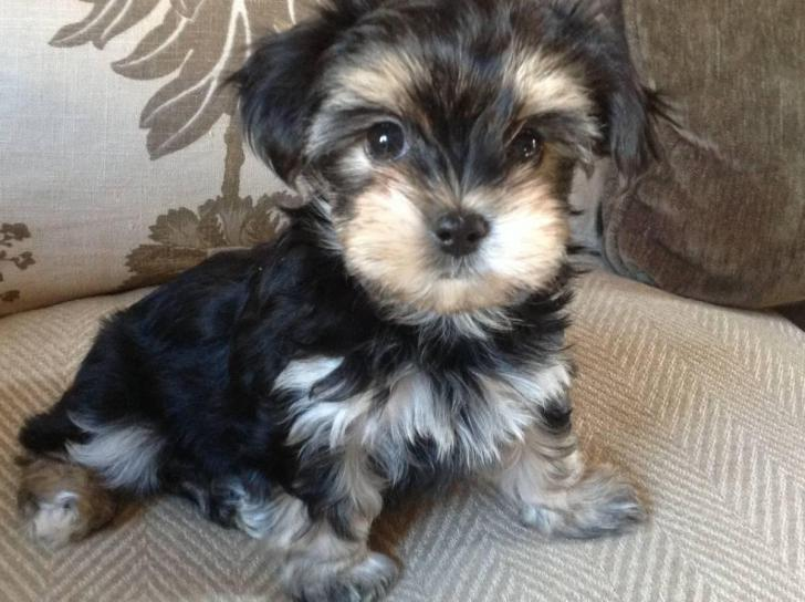 Buy Morkie puppies for sale in Mississippi USA