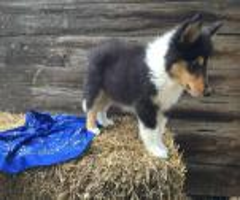 Rough collie puppies for sale in va