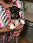 chihuahua puppies for sale in south carolina
