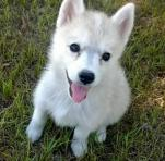 Eskimo husky (huskimo) for sale