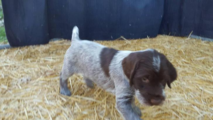 wirehaired pointing griffon puppies for sale in Old Town ...