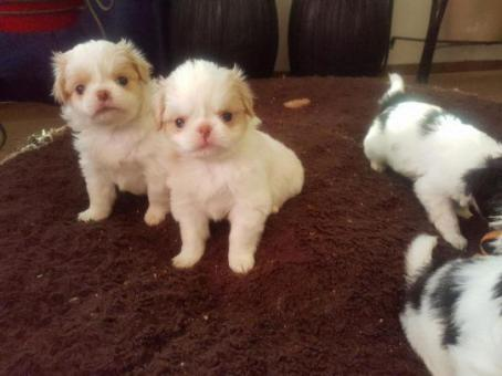 white japanese chin puppies for sale