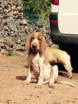 bracco italiano puppies for sale