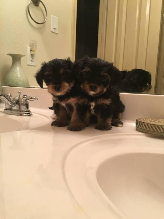 yorkie poos for sale in Delaware City , Delaware - Puppies ...