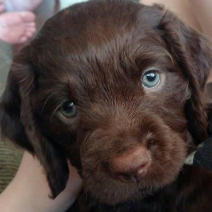 American Water Spaniel Puppies For Sale 4 Weeks Old In Winchester Indiana Puppies For Sale Near Me