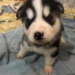 alaskan malamute puppies for sale in michigan