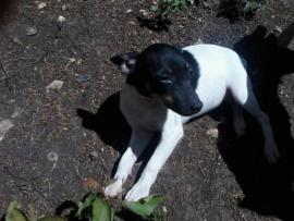 toy fox terrier puppies for sale in pa