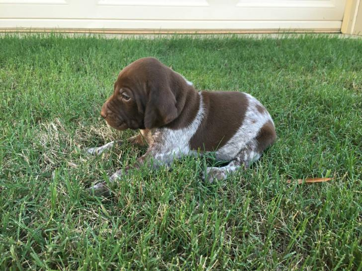 German Shorthaired Pointer Puppies Texas In Houston Texas Puppies For Sale Near Me