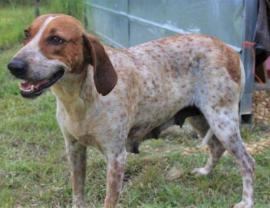 english coonhound puppies for sale